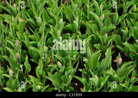 Young Tulips in a row waiting to open. - Stock Photo