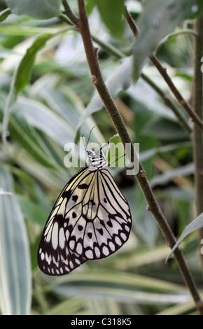 Malabar Tree Nymph Butterfly  Idea malabarica - Stock Photo