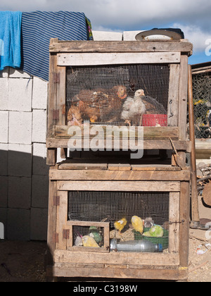 Are Baby Chicks Used For Food