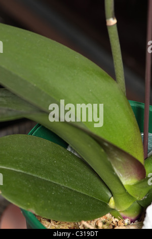 Close on the new Flower Spike on Moth Orchid - Stock Photo