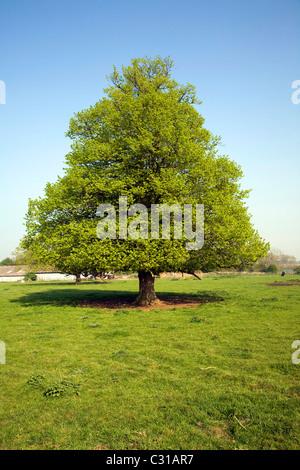 Tilia × europaea Common Lime tree Sutton Suffolk England - Stock Photo