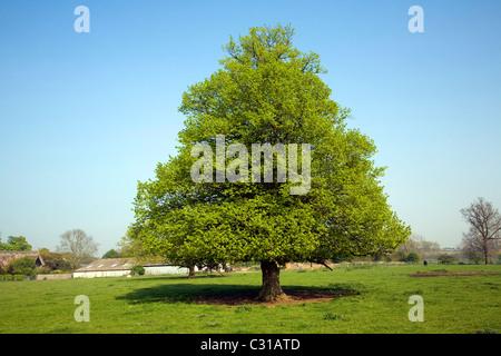Tilia X europaea Common Lime tree Sutton Suffolk England - Stock Photo