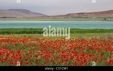Poppy flowers at gevas van lake turkey stock photo 28010746 alamy poppies in gevas lake van turkey stock photo mightylinksfo