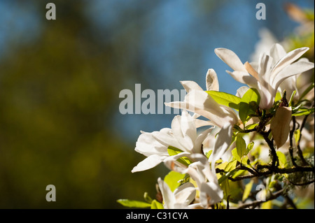 Magnolia salicifolia in bloom - Stock Photo