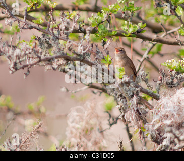 Grasshopper Warbler reeling from perch in tree - Stock Photo