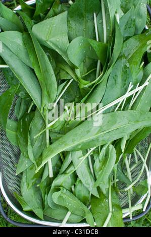 Freshly harvested ramsons leaves (aka ramps, wild leeks, wood garlic, or wild garlic) sitting in a basket in Northumberland, - Stock Photo