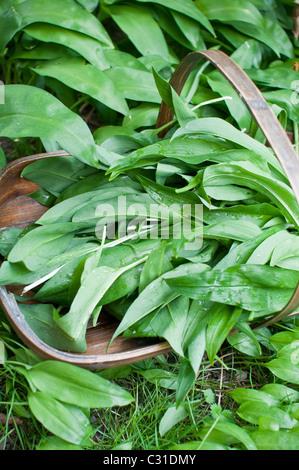 Freshly harvested ramsons leaves (aka ramps, wild leeks, wood garlic, wild garlic) in a wooden trug in Northumberland, - Stock Photo