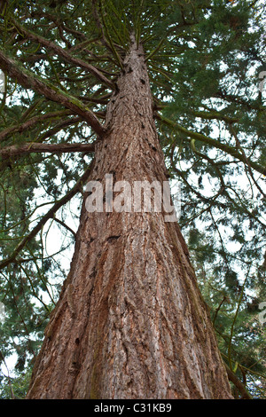 Redwood trees, sequoiadendron giganteum (Redwoods) at Batsford Arboretum, The Cotswolds, Gloucestershire - Stock Photo