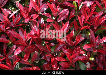 Red Robin, shrub in spring with red leaves - Stock Photo