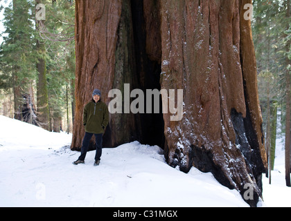 A man standing in front of Giant Sequoia tree in winter - Stock Photo