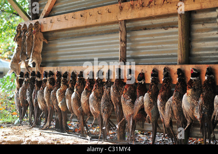 HARES AND PHEASANTS, THE HUNT'S TAKE, SOMME (80), FRANCE - Stock Photo