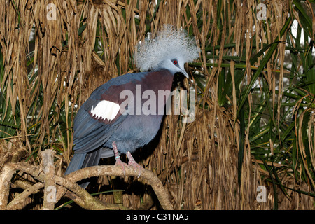 Western crowned-pigeon, Goura cristata, single captive bird on branch, Indonesia, March 2011 - Stock Photo