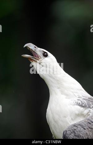 White-bellied sea-eagle, Haliaeetus leucogaster, single captive bird head shot calling, Indonesia, March 2011