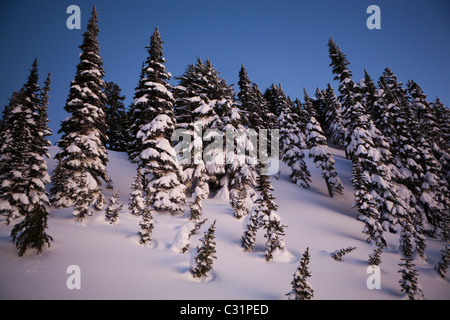 Pine trees shrouded in snow glow in the twilight above Paradise, Mount Rainier National Park, Washington. - Stock Photo