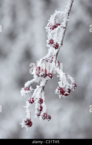 Winter scene hoar frost ice crystals on hawthorn berries in The Cotswolds, UK - Stock Photo