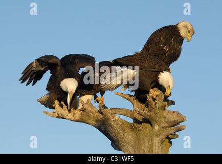 Bald Eagles sitting on dead tree trunk, near to landing and flying above the beach of Kachemak Bay , Homer spit, - Stock Photo