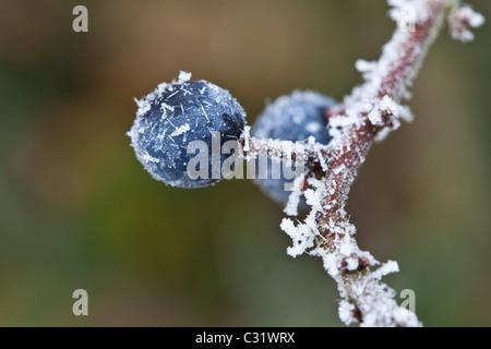 Winter scene hoar frost on sloe berries in The Cotswolds, UK - Stock Photo