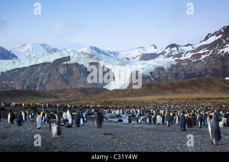 King penguin colony in front of the Bertrab Glacier, Gold Harbour, South Georgia Island - Stock Photo