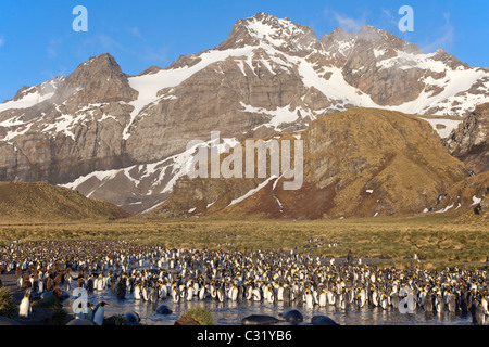 The king penguin colony at Gold Harbour, South Georgia Island - Stock Photo
