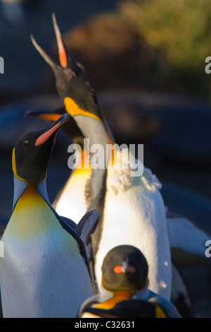 A moulting king penguin calls at dawn, Gold Harbour, South Georgia Island - Stock Photo