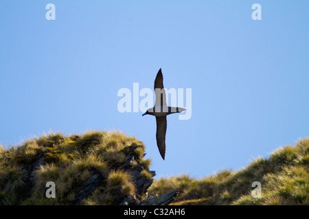A light mantled sooty albatross soars in to its nesting area - Stock Photo