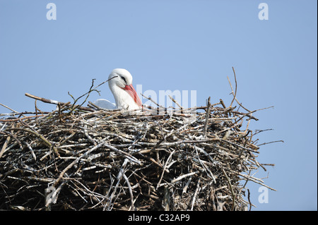 White stork (Ciconia ciconia) laying in its nest - Spring - Belgium - Stock Photo