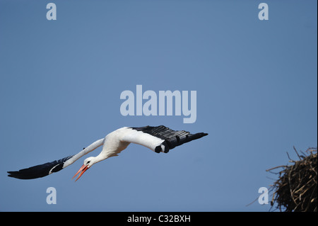 White stork (Ciconia ciconia) taking off from the nest - Spring - Belgium - Stock Photo