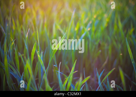 Hazy field in sunshine, UK. Sprouting wheat grass. - Stock Photo