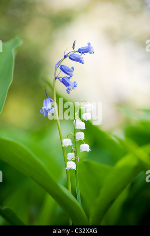 Bluebells and Lily of the valley flowers in spring. UK - Stock Photo