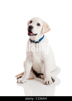 Beautiful Labrador retriever cream puppy isolated on white background wearing a blue dog-collar - Stock Photo