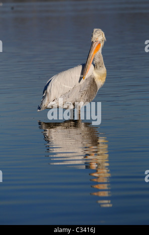 Dalmatian pelican (Pelecanus crispus) standing on shallow water - Stock Photo