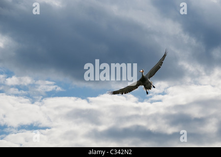 Dalmatian Pelican (Pelecanus crispus) coming to land - Stock Photo