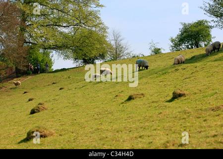 Sheep grazing on a hillside farm field - Stock Photo