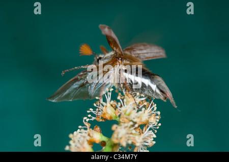 Maybug taking off (Melolontha melolontha), Hampshire, UK - Stock Photo