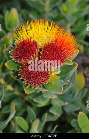Tufted pincushion, Leucospermum oleifolium, Proteaceae, Western Cape Province, South Africa - Stock Photo