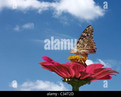 butterfly on flower (zinnia) over sky - Stock Photo