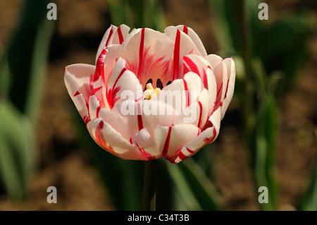 Double lateTulip variety Carnaval de Nice, Dutch Tulips - Stock Photo