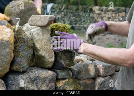 Adding the coping stones to a stint of rebuilt dry stone wall. - Stock Photo