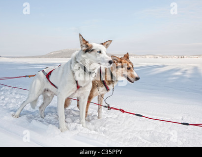 Huskies. Working sled dogs, Lapland, Sweden. - Stock Photo