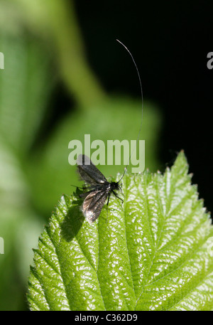 Male Green Longhorn Moth, Adela reaumurella, Adelidae. - Stock Photo