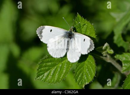 Female Orange-tip Butterfly, Anthocharis cardamines, Pieridae. Aka Anthocaris cardamines. - Stock Photo
