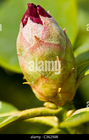 Close up of rhododendron bud just before starting to flower. - Stock Photo