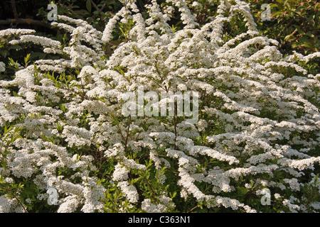Spiraea arguta shrub with white spring flowers - Stock Photo