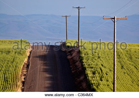 A graveled county road bisects two fields of ripening green wheat in Oregon, with power lines running parallel to - Stock Photo
