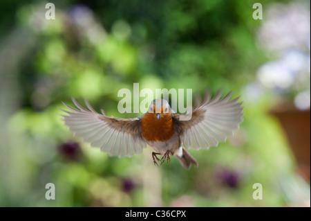 Robin in flight in an english garden in spring. UK - Stock Photo