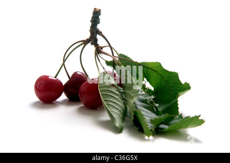 Cherry variety Braunauer  with twig and leaves - Stock Photo