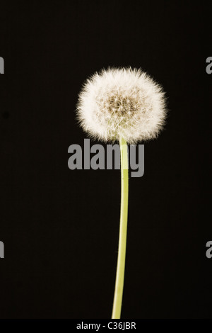 closeup of dandelion on black background, in spring time - Stock Photo