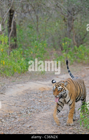 Tiger snarling (flehmen display) on a forest road in Ranthambhore in a misty morning - Stock Photo