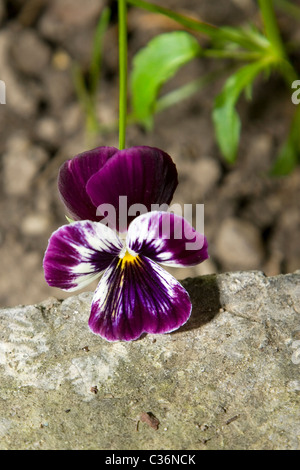 close-up of pansy flower on natural background - Stock Photo