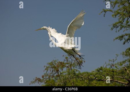 Great Egret (Casmerodius albus) - In flight - Louisiana - USA - Distinguished from most other white herons by large - Stock Photo